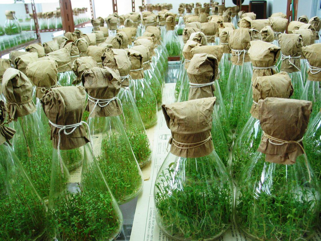 Ứng dụng KHCN trong sản xuất giống cây nguyên liệu giấy cho năng suất, chất lượng cao
